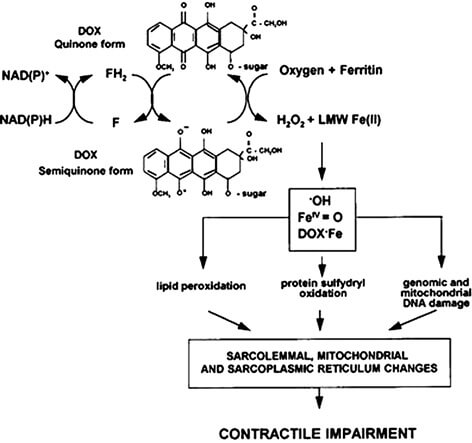 """Fig. 2. The """"iron and free radical hypothesis of cardiotoxicity of anthracyclines (DOX)"""". F/FH2 — oxidized/reduced flavoproteins (e.g., NADH dehydrogenase, NADPH cytochrome P450 reductase); LMW Fe(II), low molecular weight Fe(II); •OH, hydroxyl radical; FeIV=O, ferryl ion; DOX•Fe, doxorubicin-iron complex (name not amended)"""